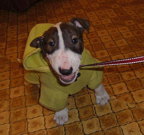 бультерьер Дженнифер идет на прогулку