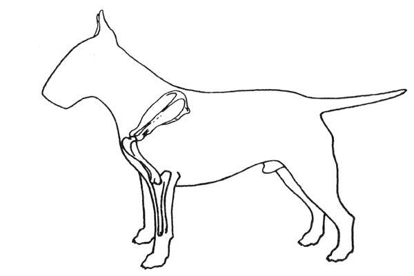 """Том Хорнер """"Все о бультерьерах"""". Рисунок 2 """"Идеальная передняя часть, лопатка и предплечье формируют правильный угол""""."""