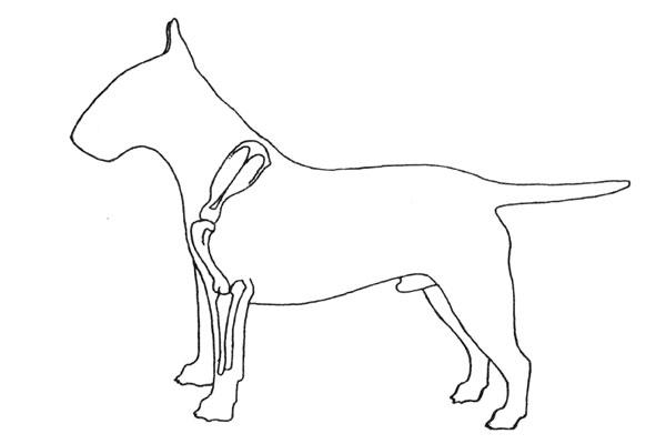 """Том Хорнер """"Все о бультерьерах"""". Рисунок 3 """"Слишком поднятое плечо и предплечье. У собаки плохо выражена грудина и имеется впадина за холкой Движение передних конечностей будет затруднено.""""."""