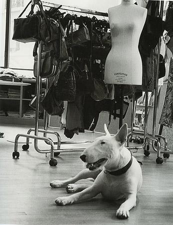 Бультерьер в модной индустрии.