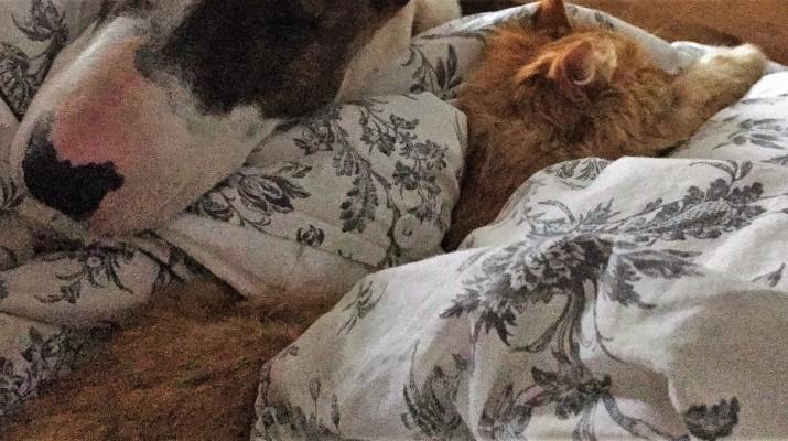бультерьер и кошка