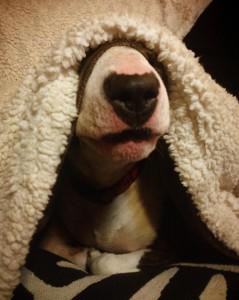 нос бультерьера из-под одеяла