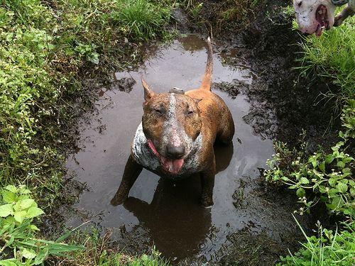 очень грязная собака