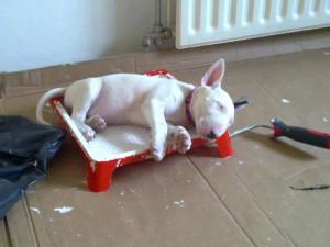 спящий щенок бультерьера
