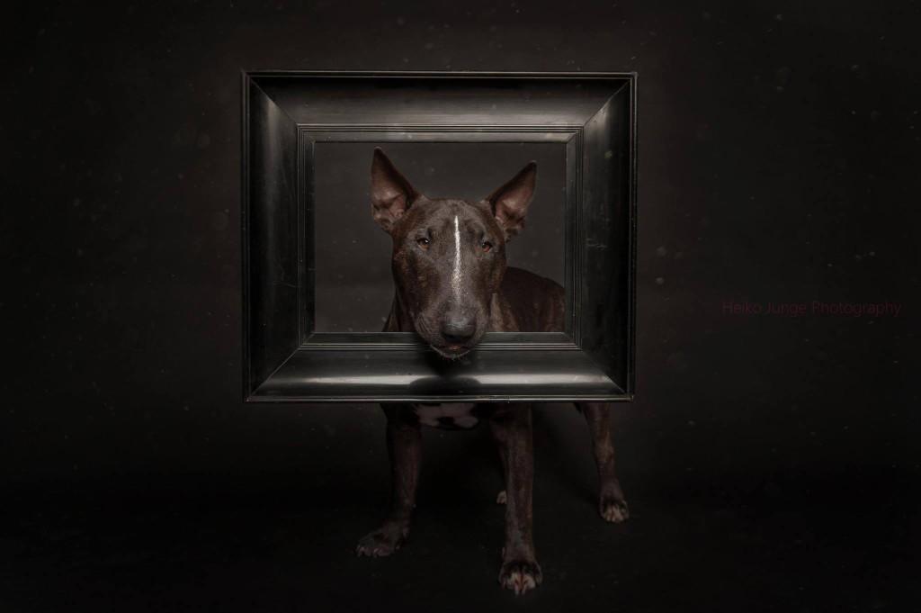 бультерьер от собачьего фотографа Heiko Junge