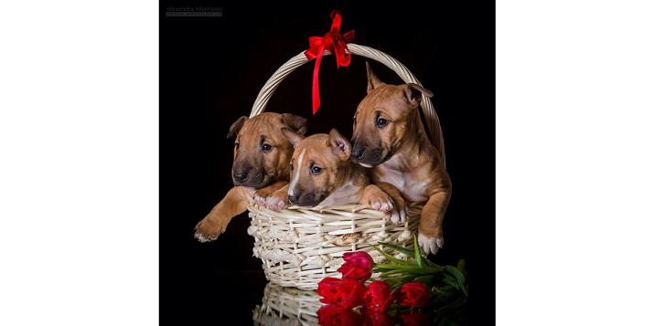 bullterrier-puppy-by-Alexandra Morrison