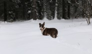 Собака бультерьер и зимний лес