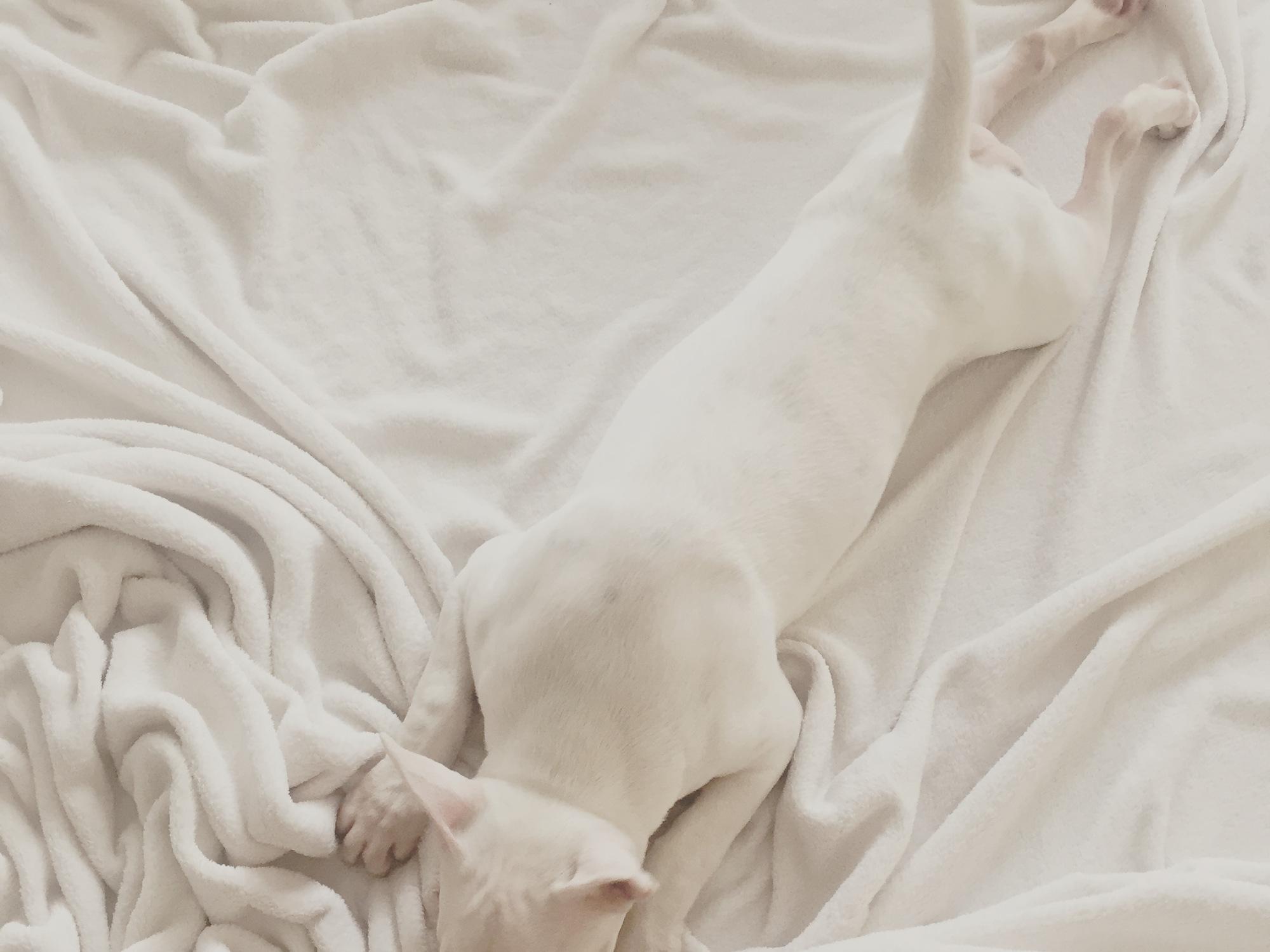 белый бультерьер